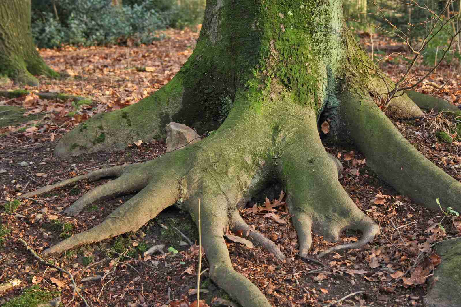 Un conjunto masivo de raíces de árboles
