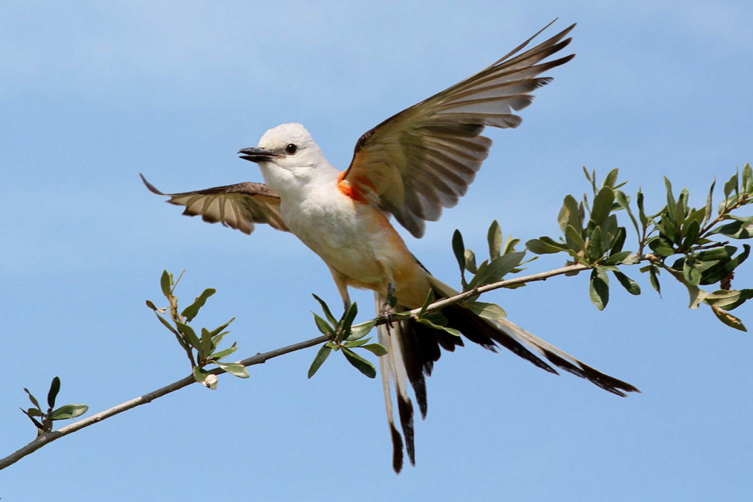 Scissor-Tailed Flycatcher, the state bird of Oklahoma, ready to fly off a branch.