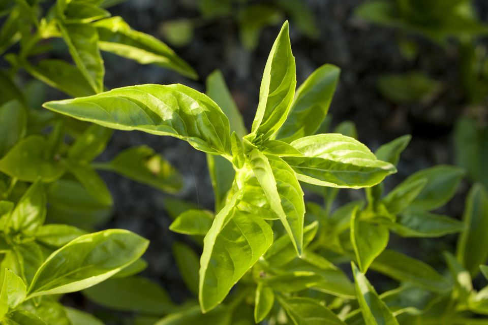 Close-up of basil