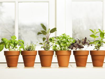 Tall Herbs for the Garden Landscape