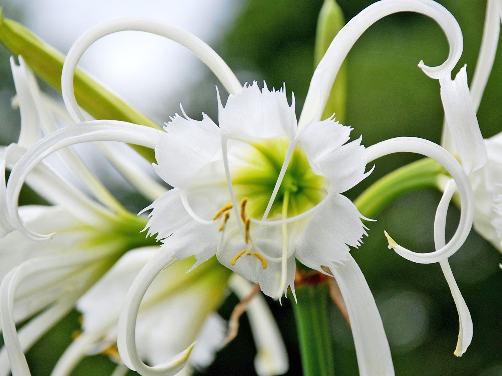 Purple Flame Lily Bulbs Gloriosa  Flower Fragrant Plant Home Garden Decor DIY