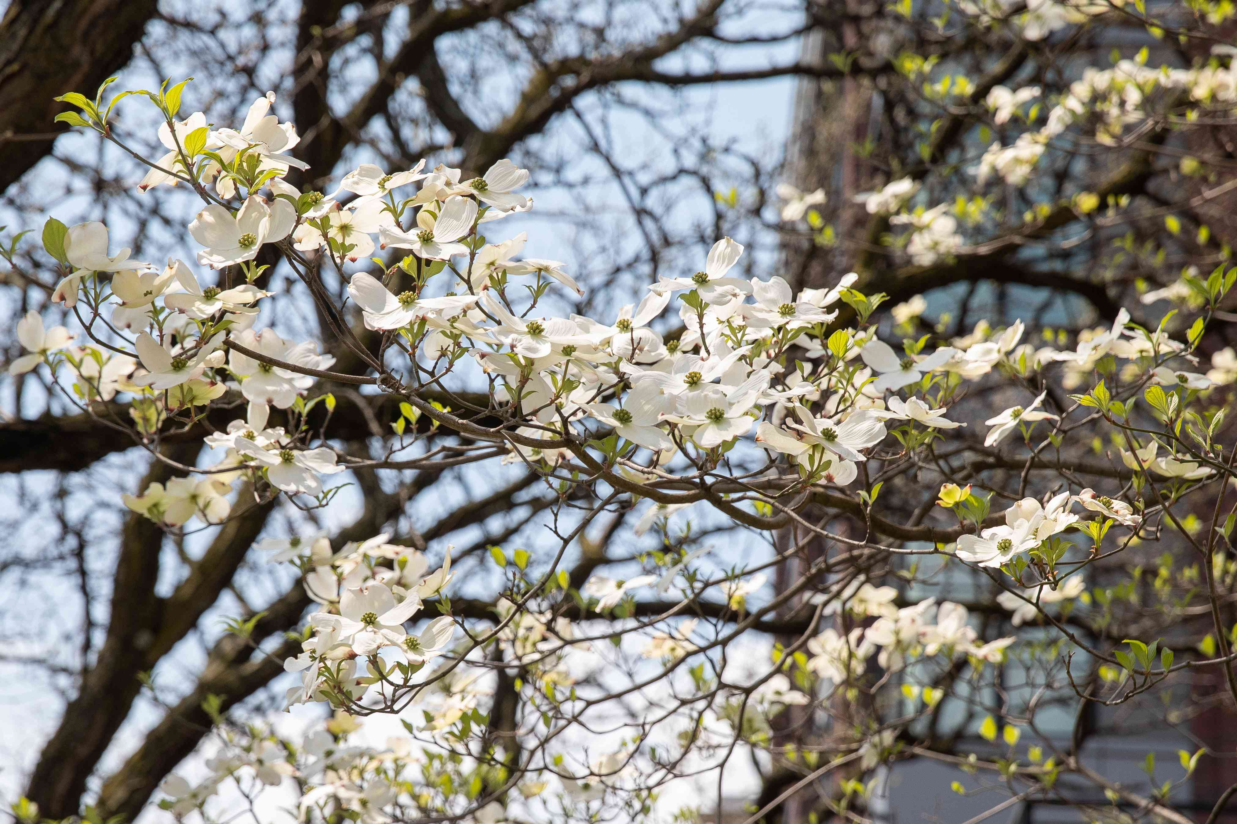 Dogwood tree with white flowers growing on bare branches in sunlight