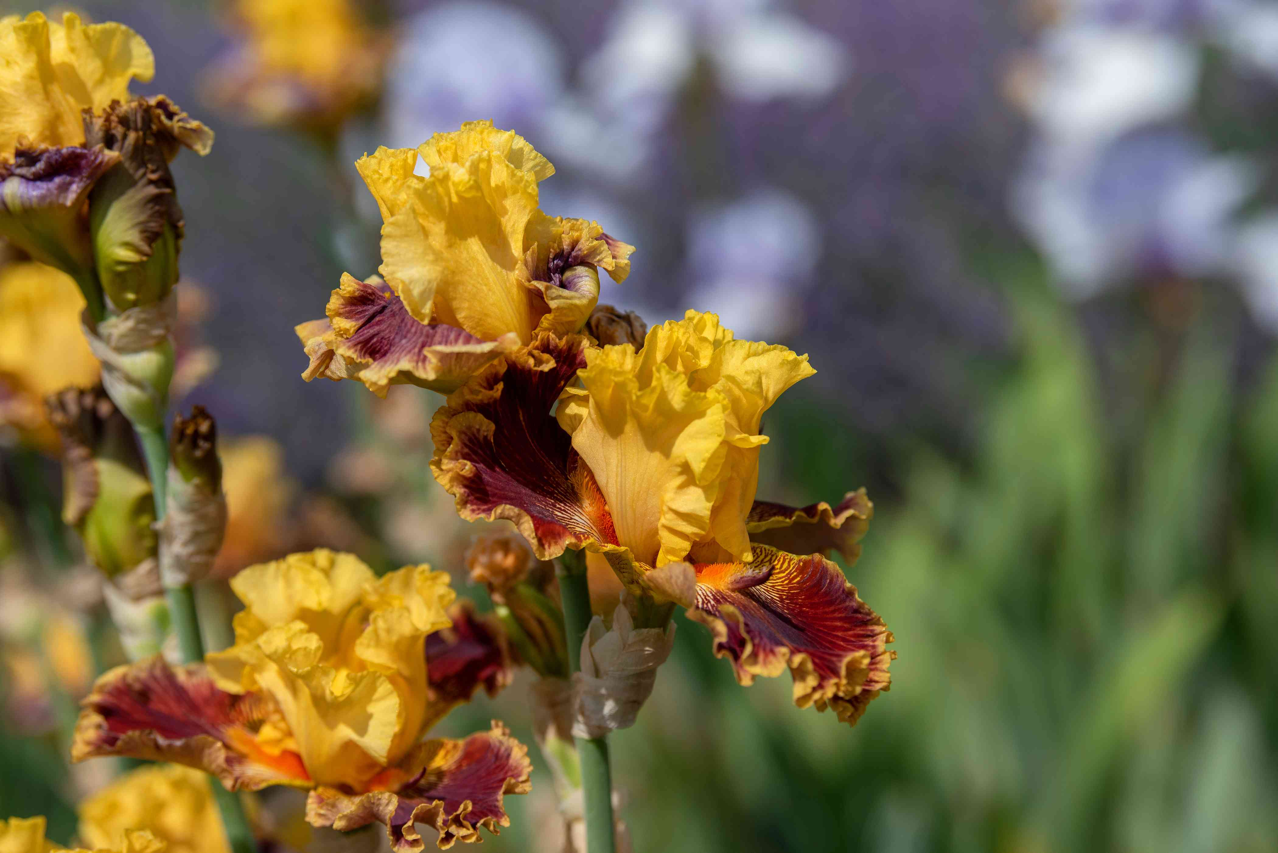 Iris with yellow standard petals and red and orange fall petals on flower stalk closeup