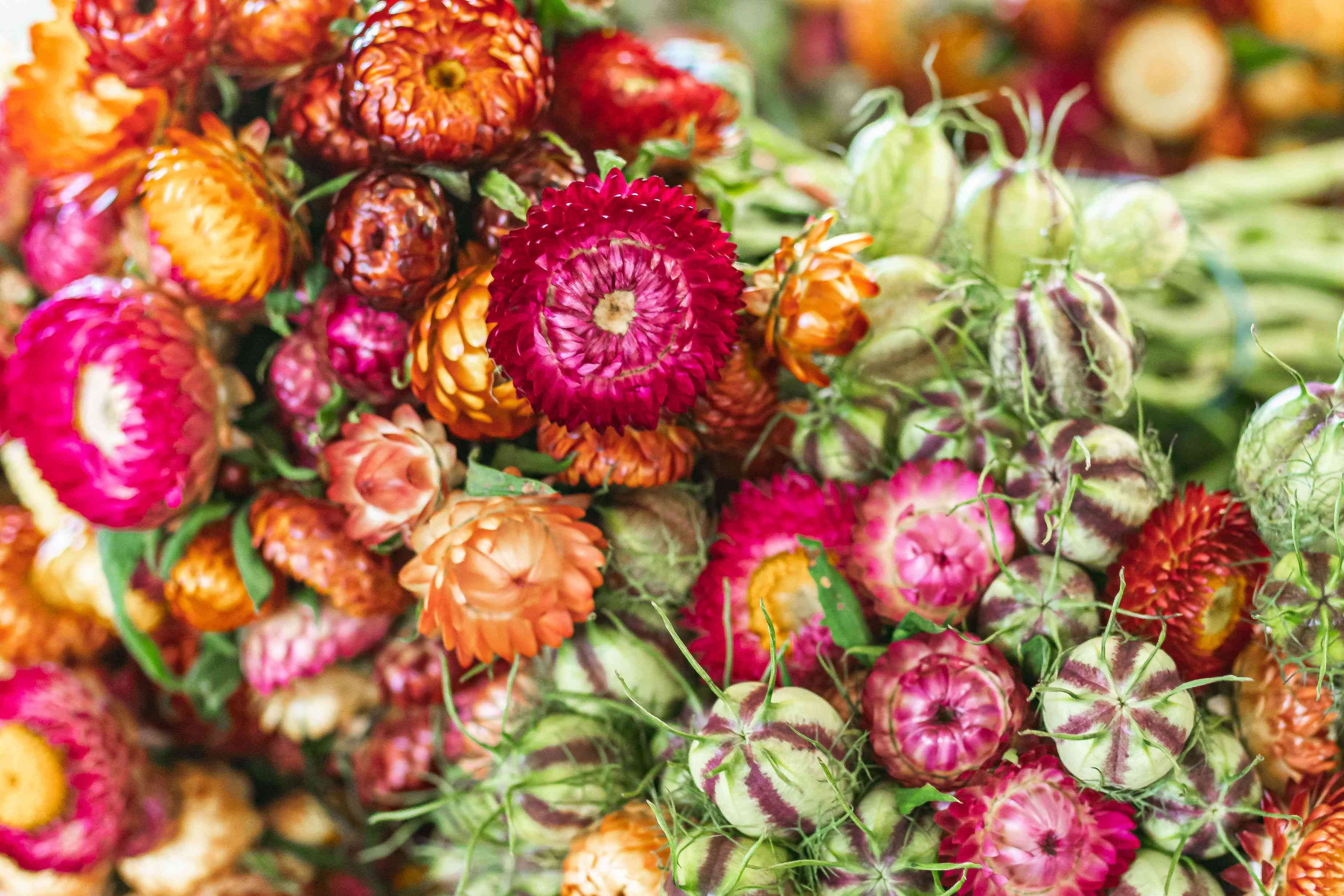 Strawflower with deep pink, orange and copper colored petals clustered in garden closeup