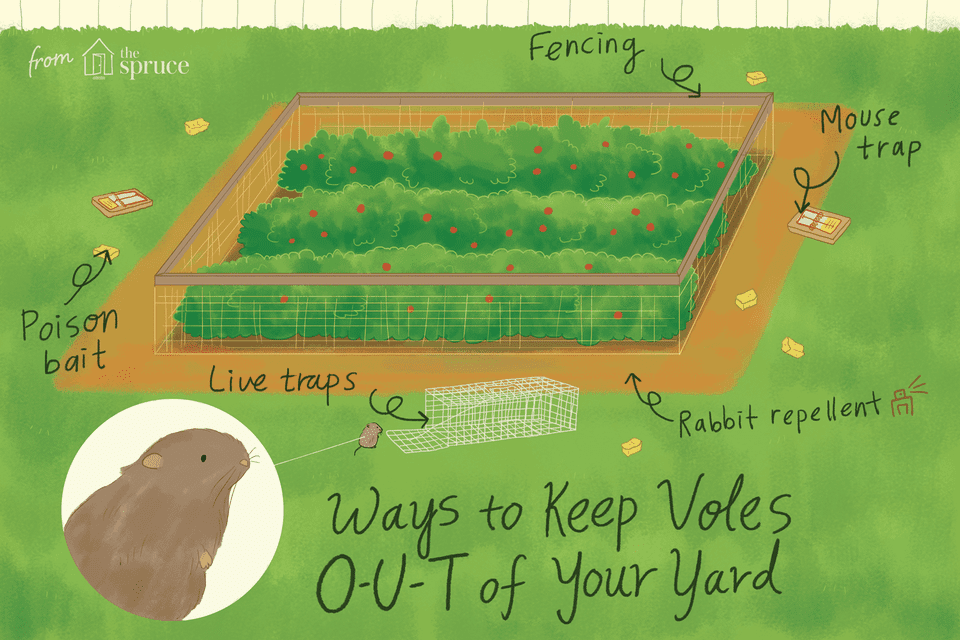 illustration depicting how to keep voles out of a yard or garden