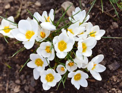 'Ard Schenk' crocus flowers with white petals and yellow centers in soil from above