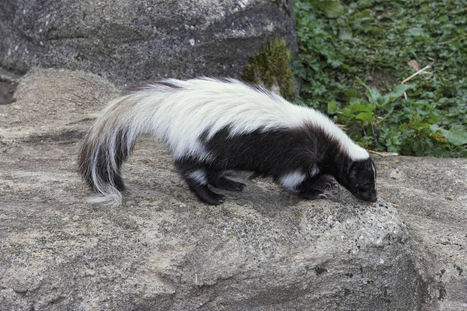 Striped skunk (Mephistis mephistis) on a rock, side view