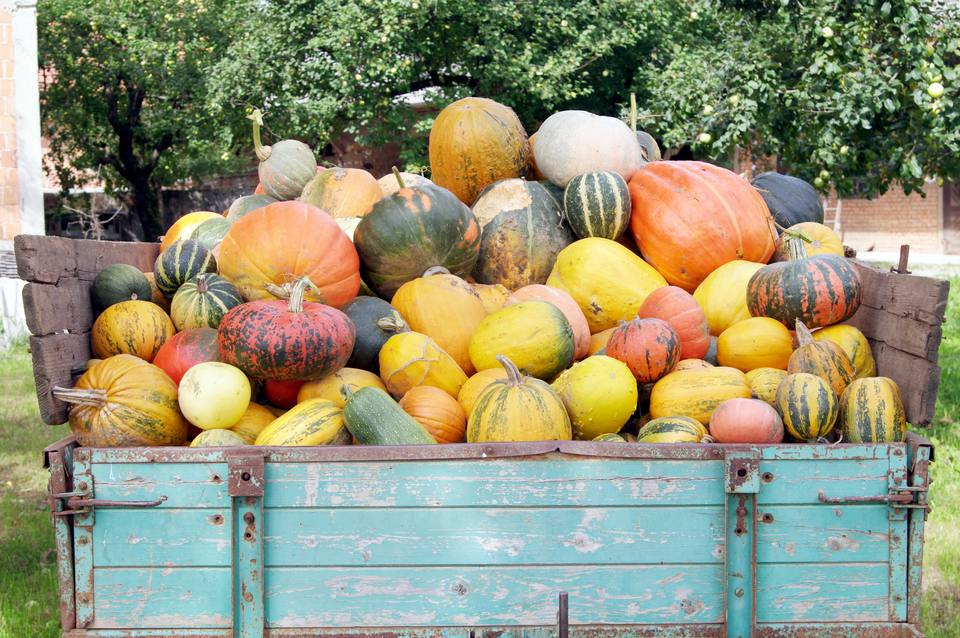 Pumpkins loaded onto a trailer
