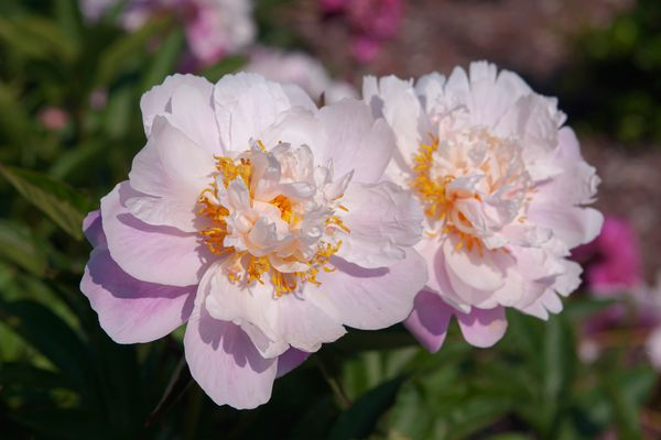 Agnes Mary Kelway peonies flowers with white and light purple petals closeup