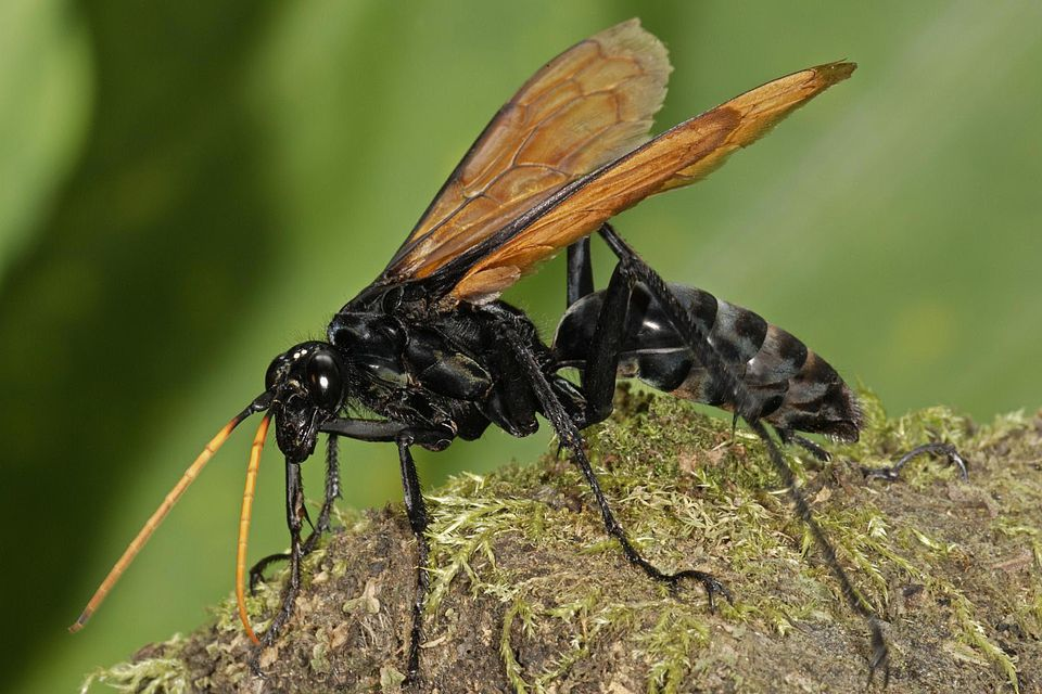 Tarantula hawk wasp (Pepsis sp.) on moss, Colombia