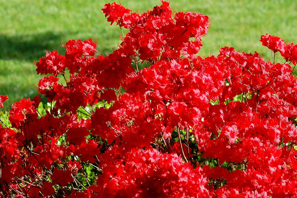 Stewartstonian azalea in bloom with red flowers.