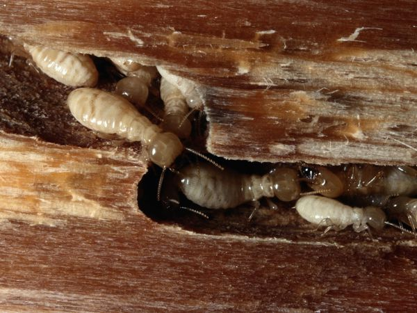 A close-up of termites in wood
