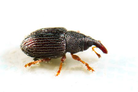 What Is a Weevil and How Did That Bug Get in My Food?
