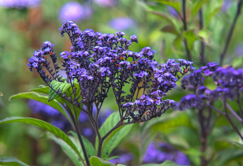 Heliotropes arborescens plant with purple flowers