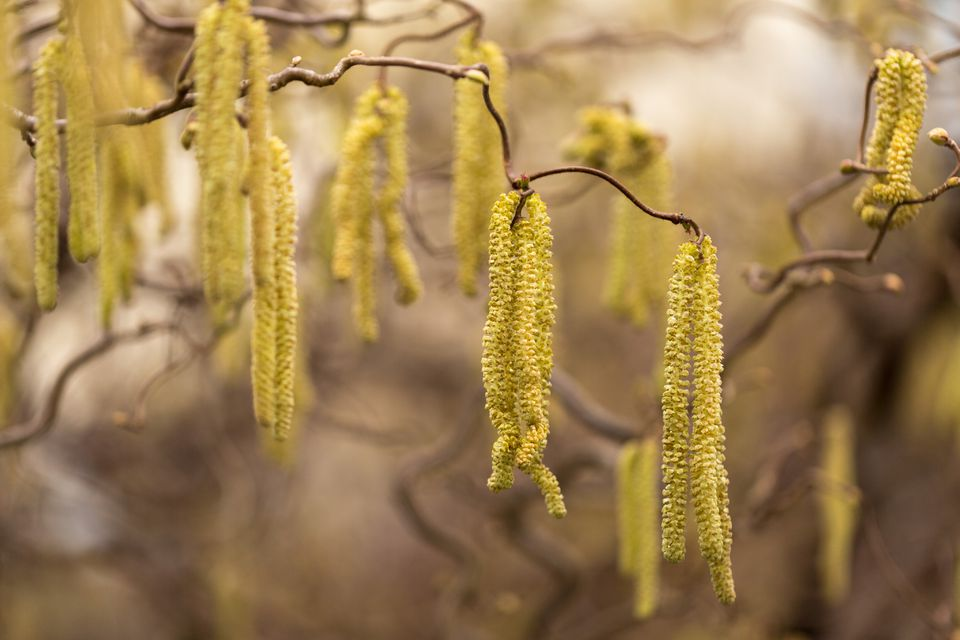 Corkscrew Willow displays unique twisted branches and fuzzy flowers that add texture to your landscape. Learn how to care for this deciduous tree in this helpful guide.