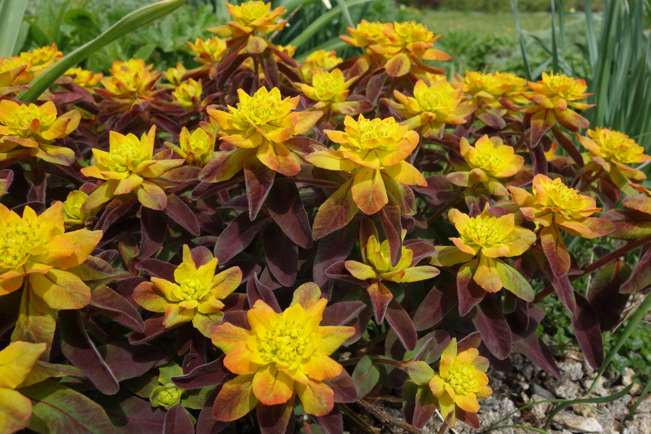 How to Grow Gorgeous Euphorbia Plants
