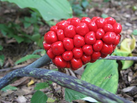 Jack In The Pulpit Plant