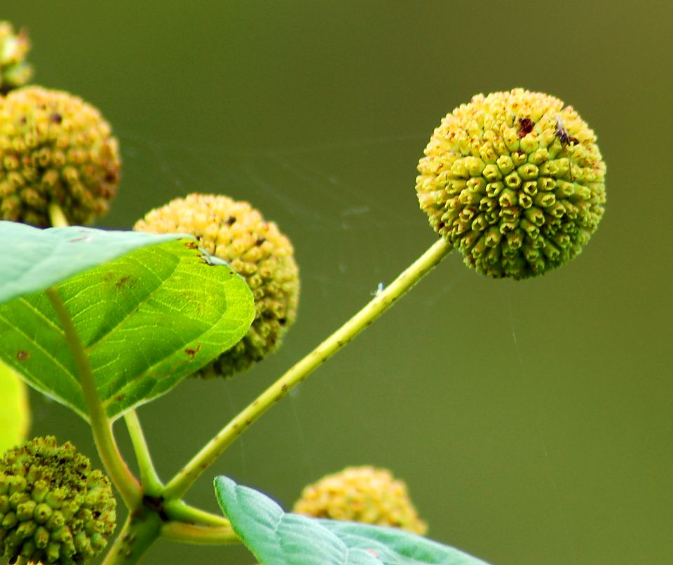 Buttonbush shrub has tightly rounded flower heads