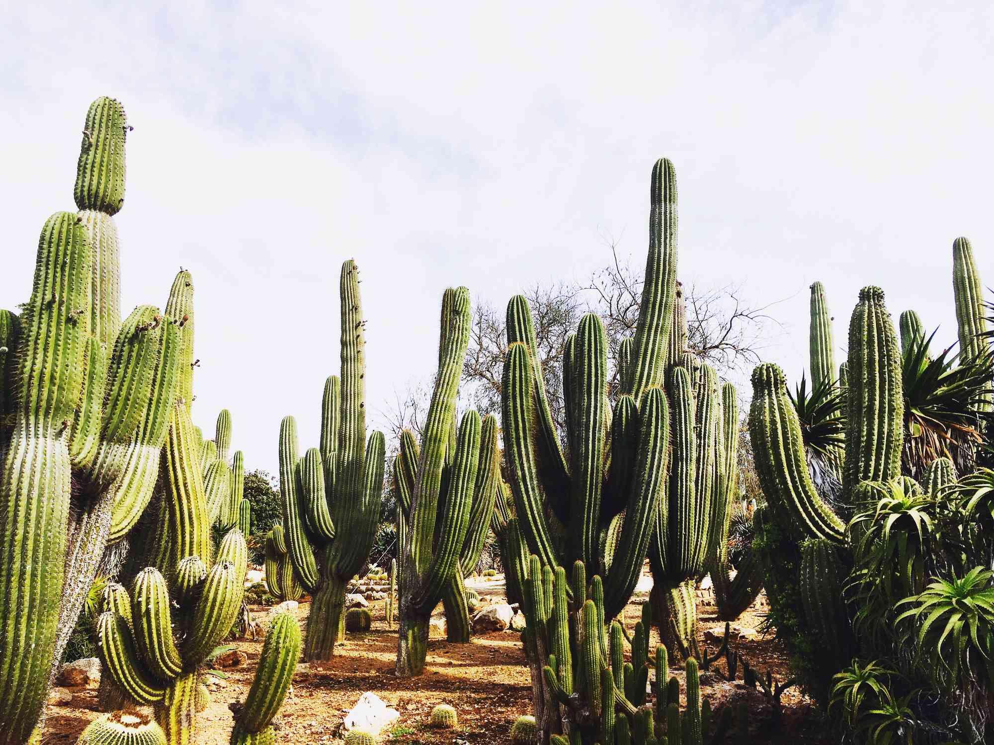 Field of saguaro cactus
