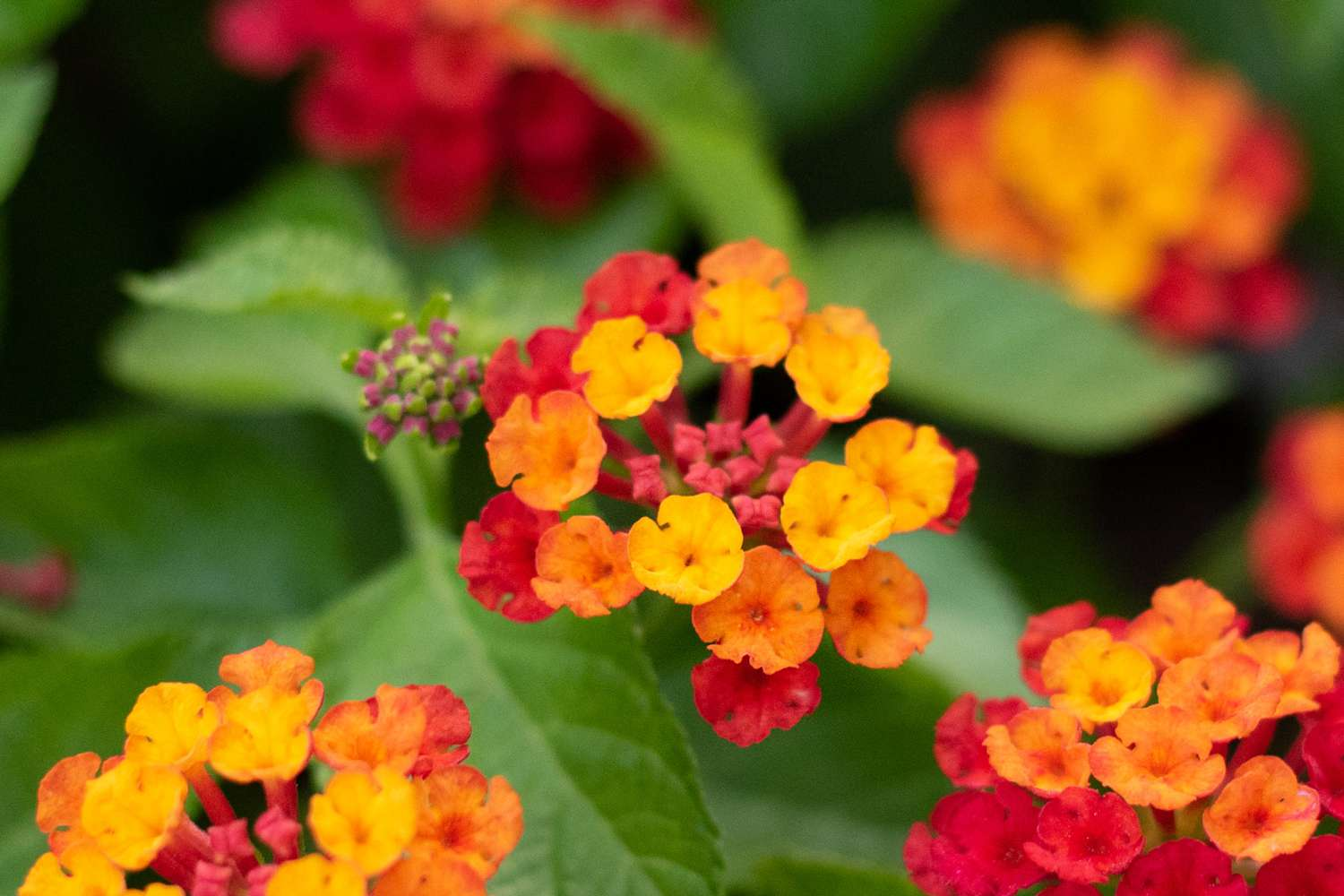 Bloodflower plant with tiny clusters of yellow, orange and red flowers closeup
