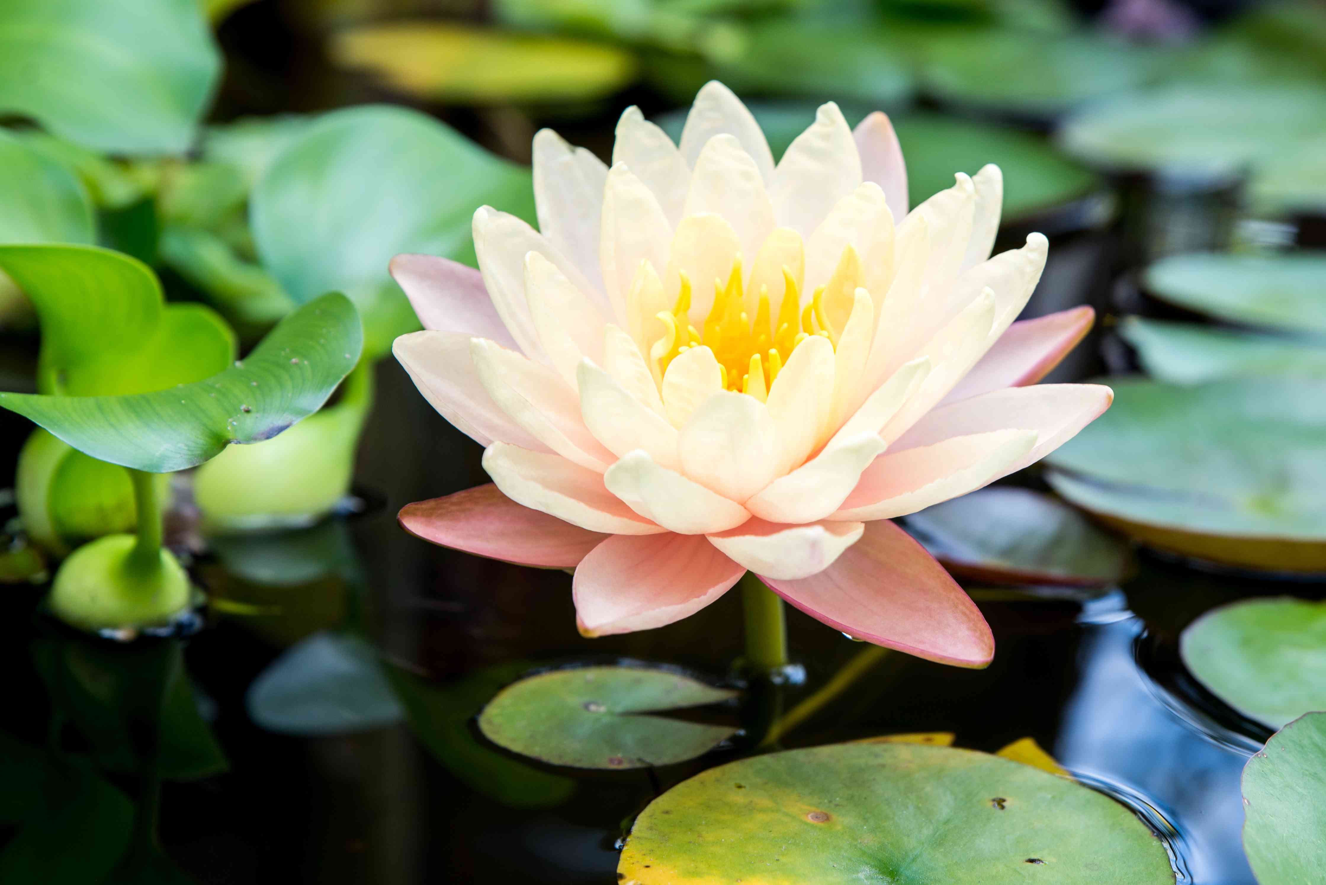 hardy water lily