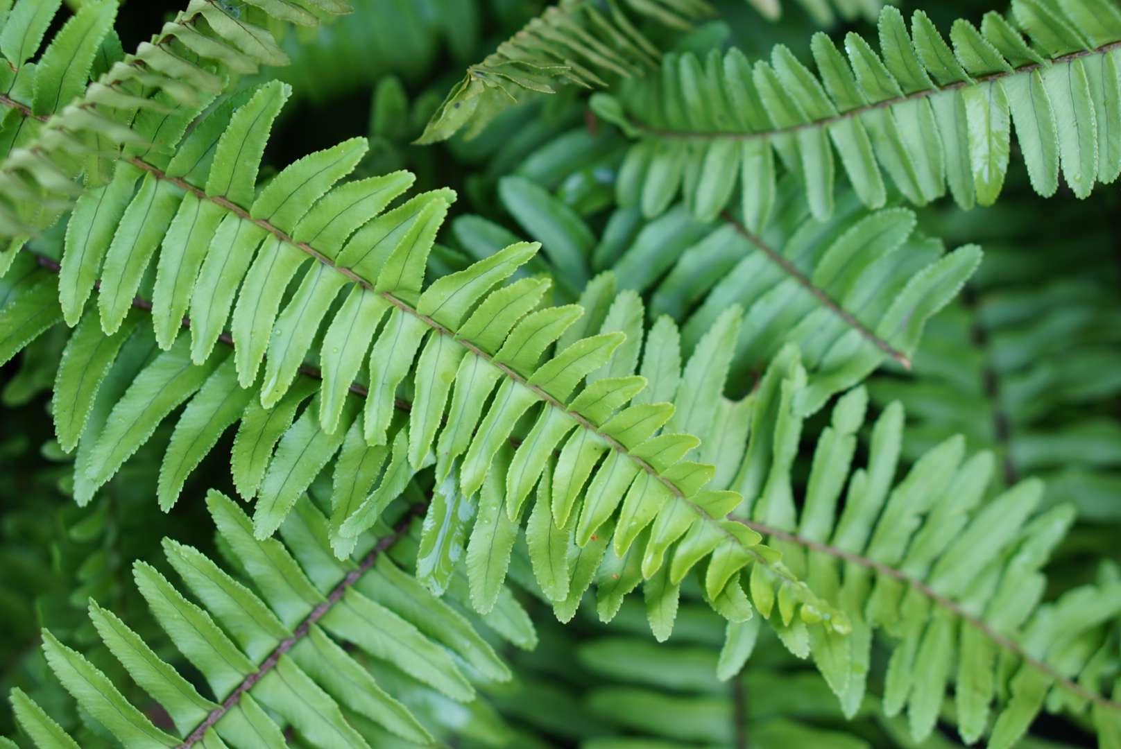 Kimberley queen fern leaves closeup