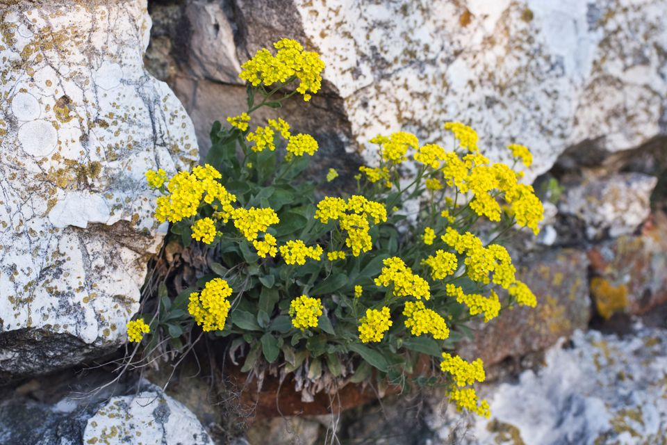 Yellow alyssum plant growing out of stone wall.