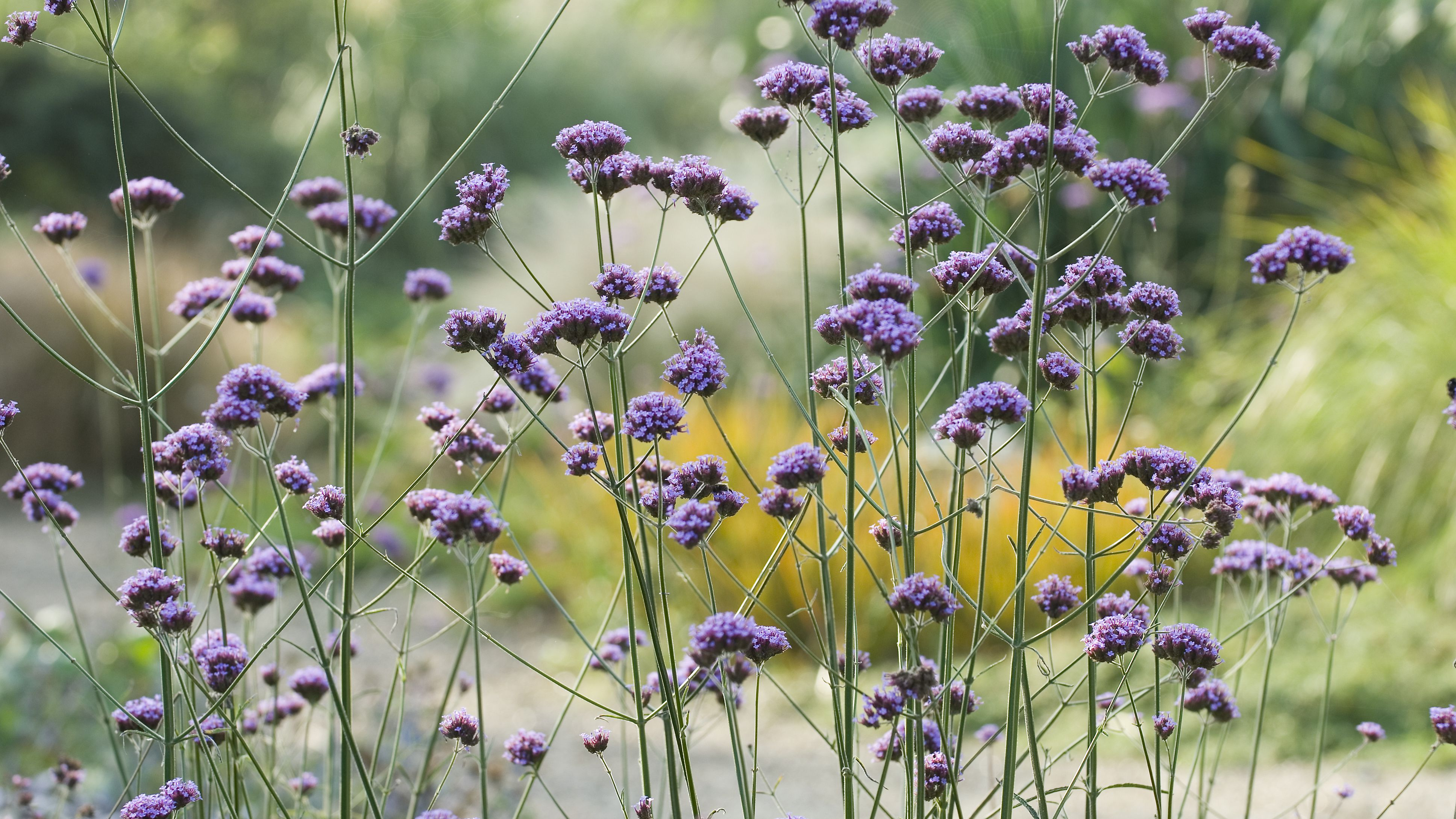 10 Tall Annual Flowers That Make A Strong Impact