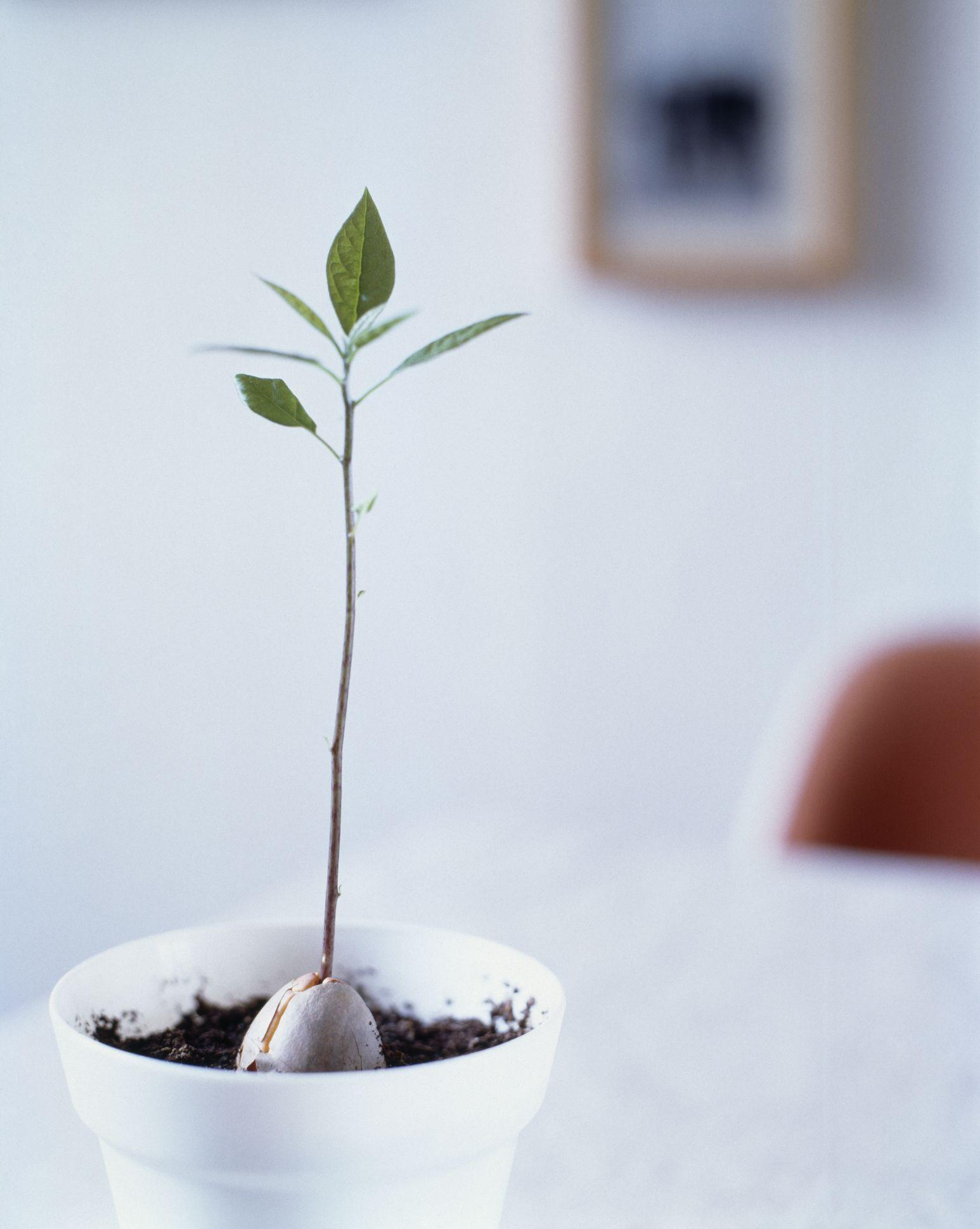 Growing Avocados As Houseplants