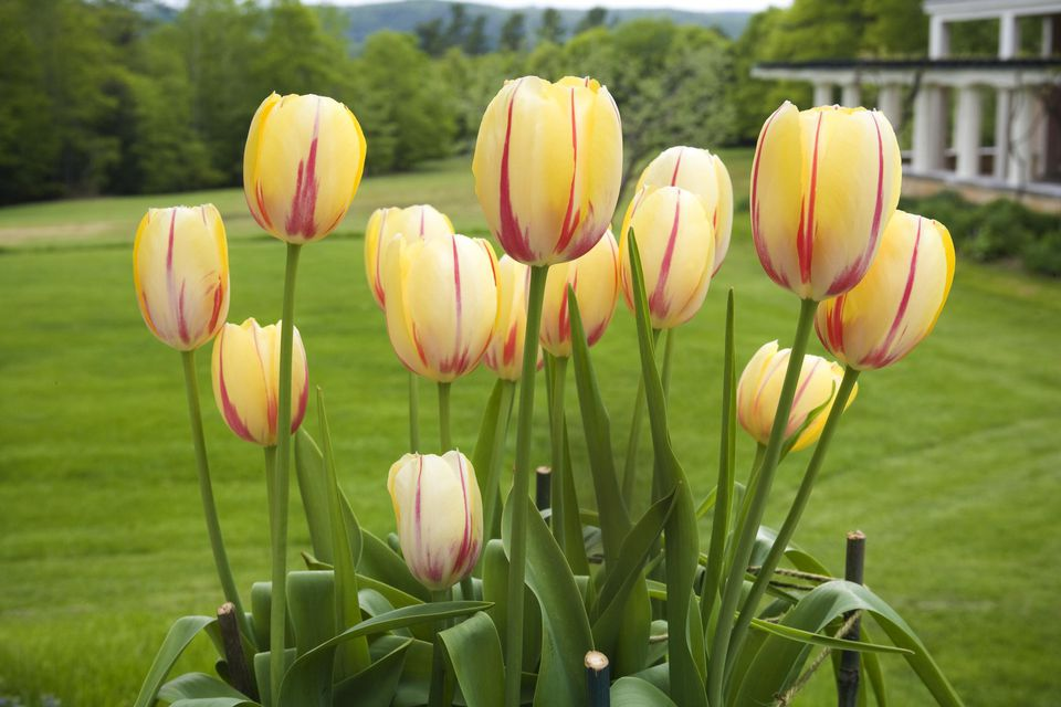 A closeup of some tulip flowers