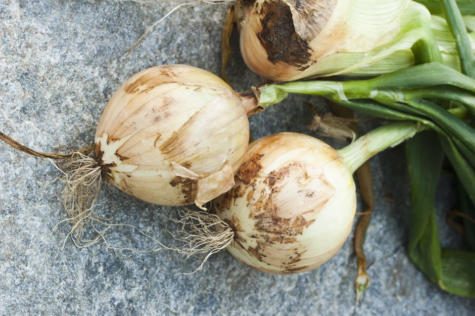 Close-up of freshly picked onion bulbs