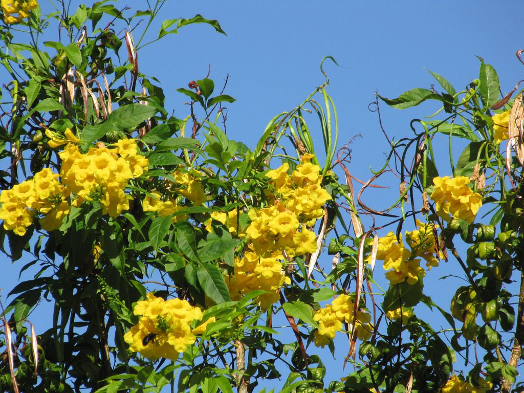 Growing The Yellow Trumpetbush In The Home Garden