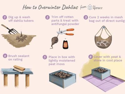 how to overwinter dahlias