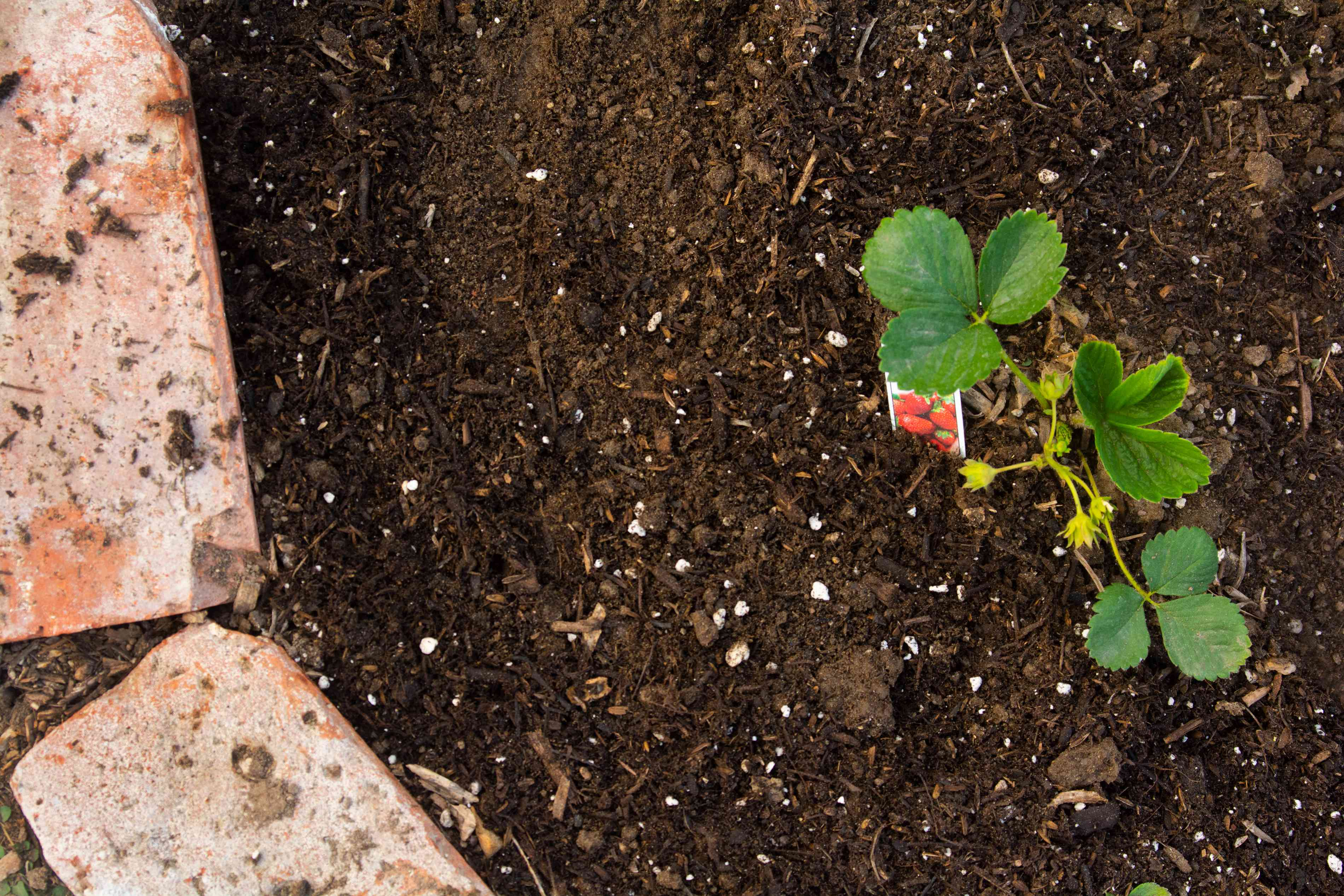 Strawberry plants with yellow buds in soil bed