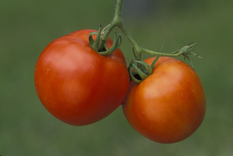 Ripe Early Girl Tomatoes (Solanum lycopersicum 'Early Girl')