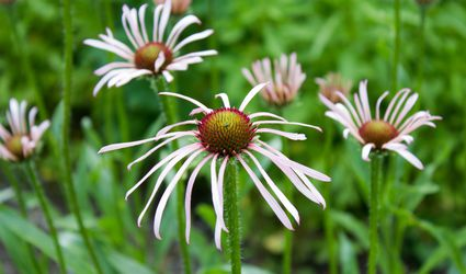 Drooping coneflower (Echinacea pallida) in a field.