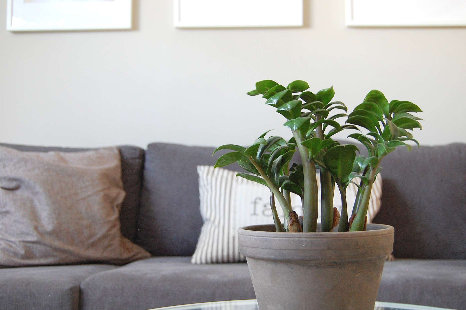 A ZZ Plant sits on a coffee table in front of a grey couch.