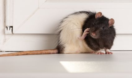 A rat in a house