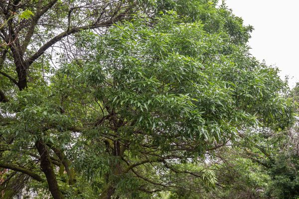 Green ash tree with gray-brown bark and medium-green leaves