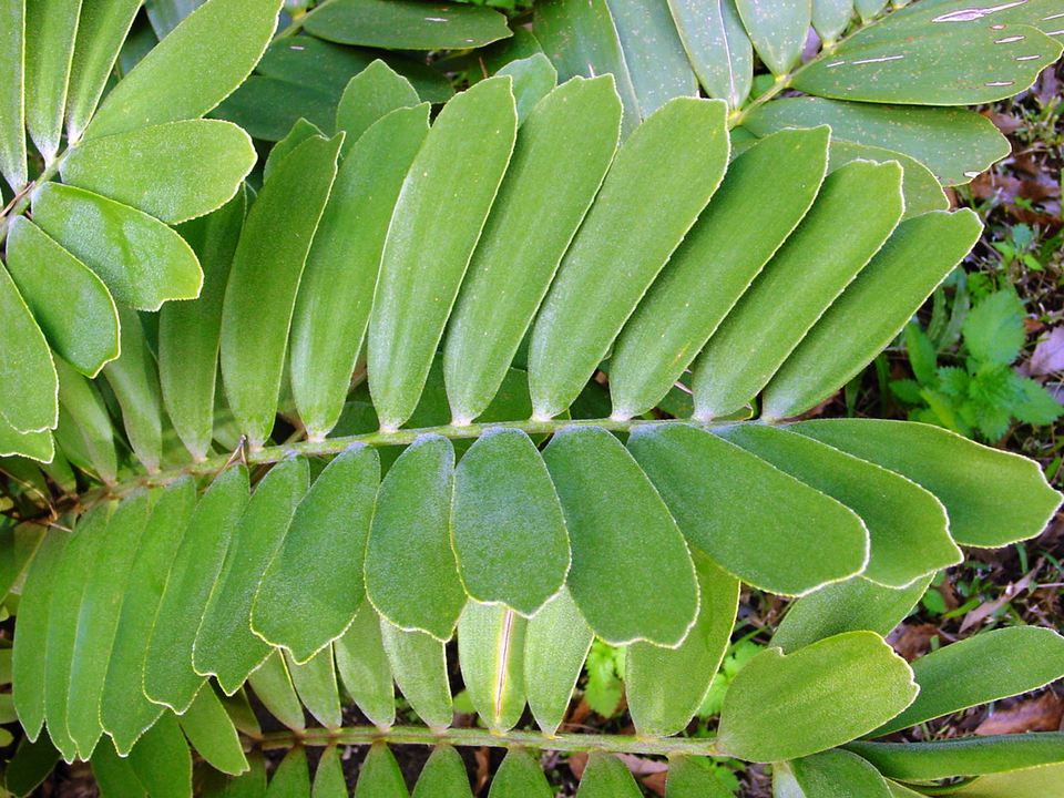 Close up of Zamia plant leaves in garden
