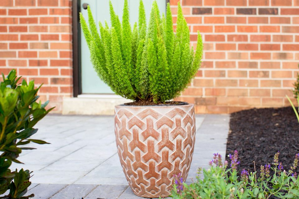 Foxtail Gern in a potted planter outdoors