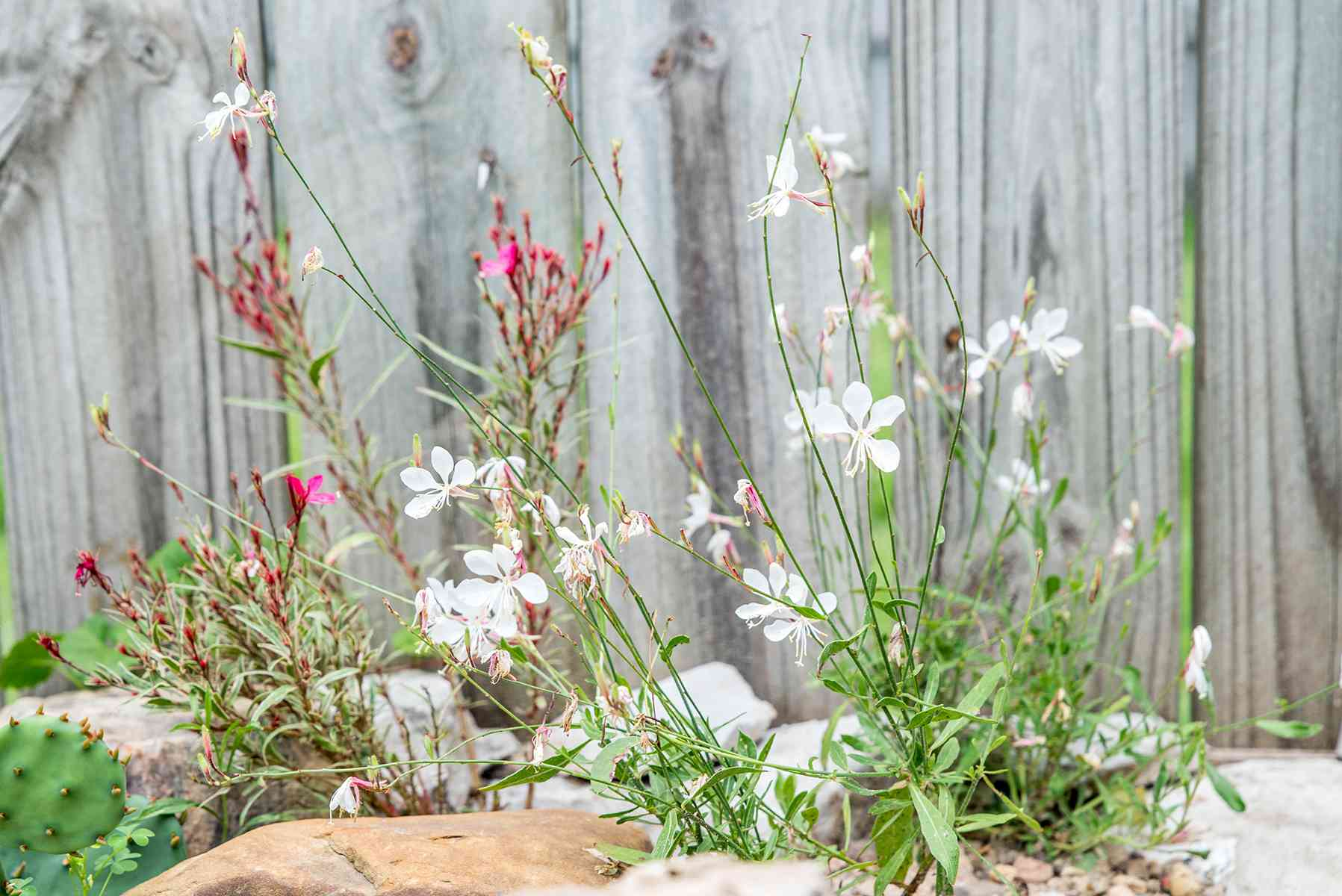gaura flowers used in landscaping