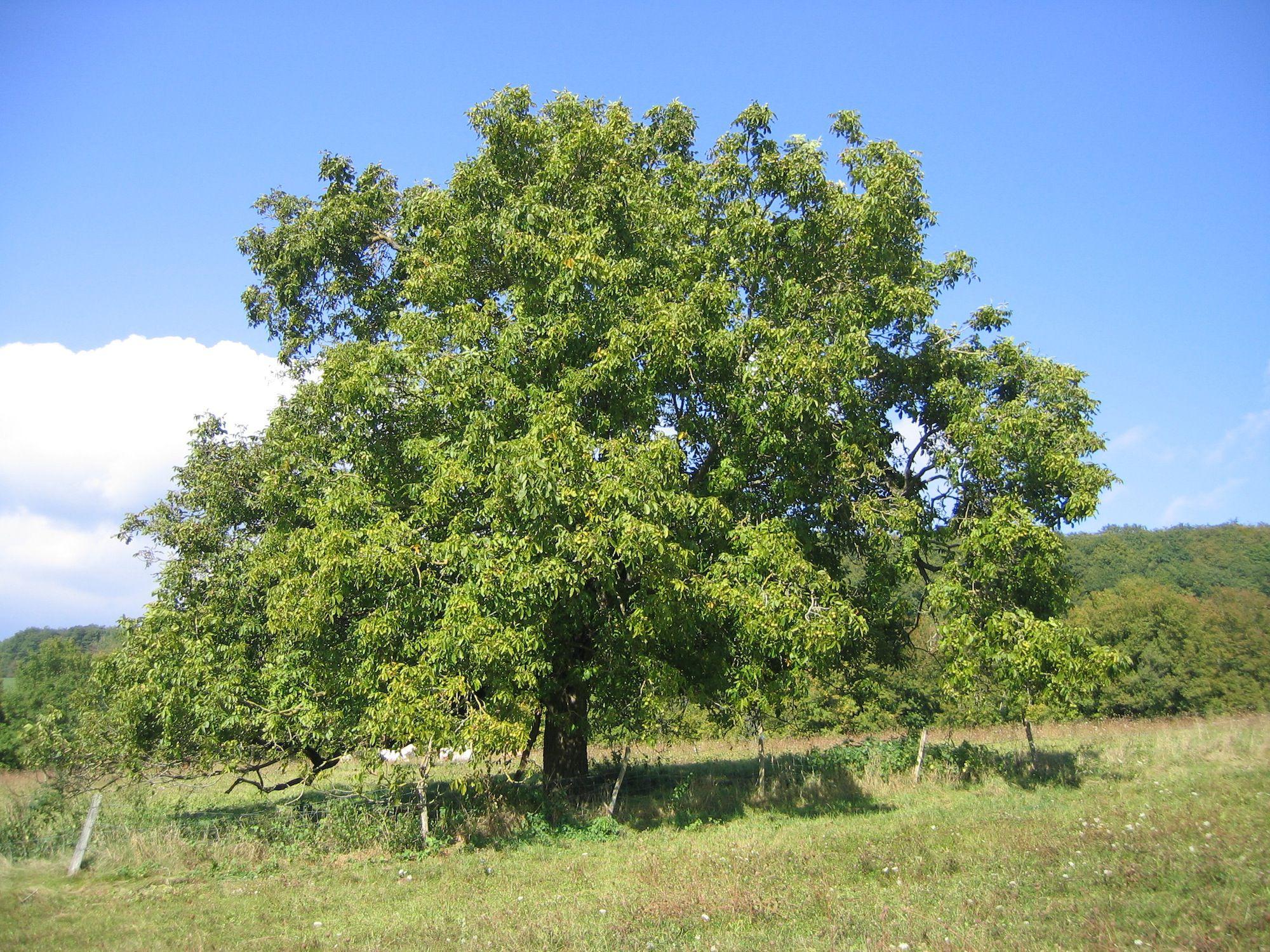 An english walnut tree in an open field