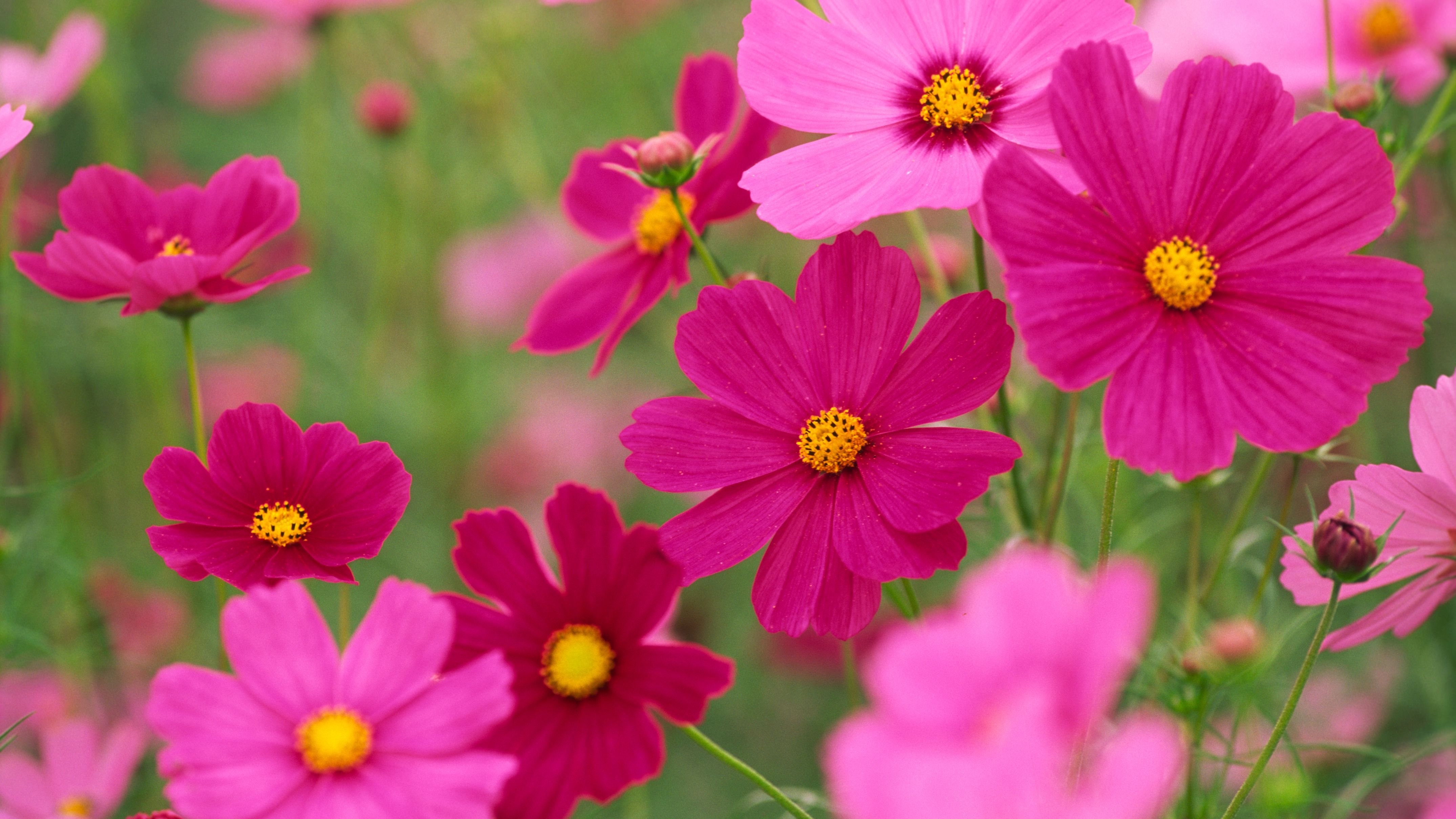 How To Grow And Care For Cosmos