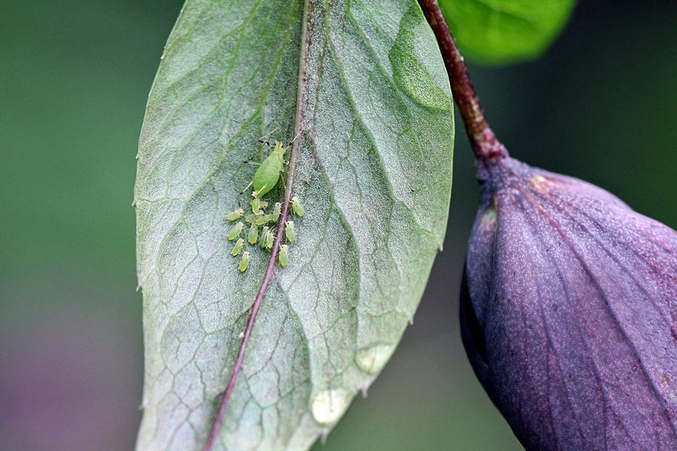 Aphid family (insects) on Hellebore plant.