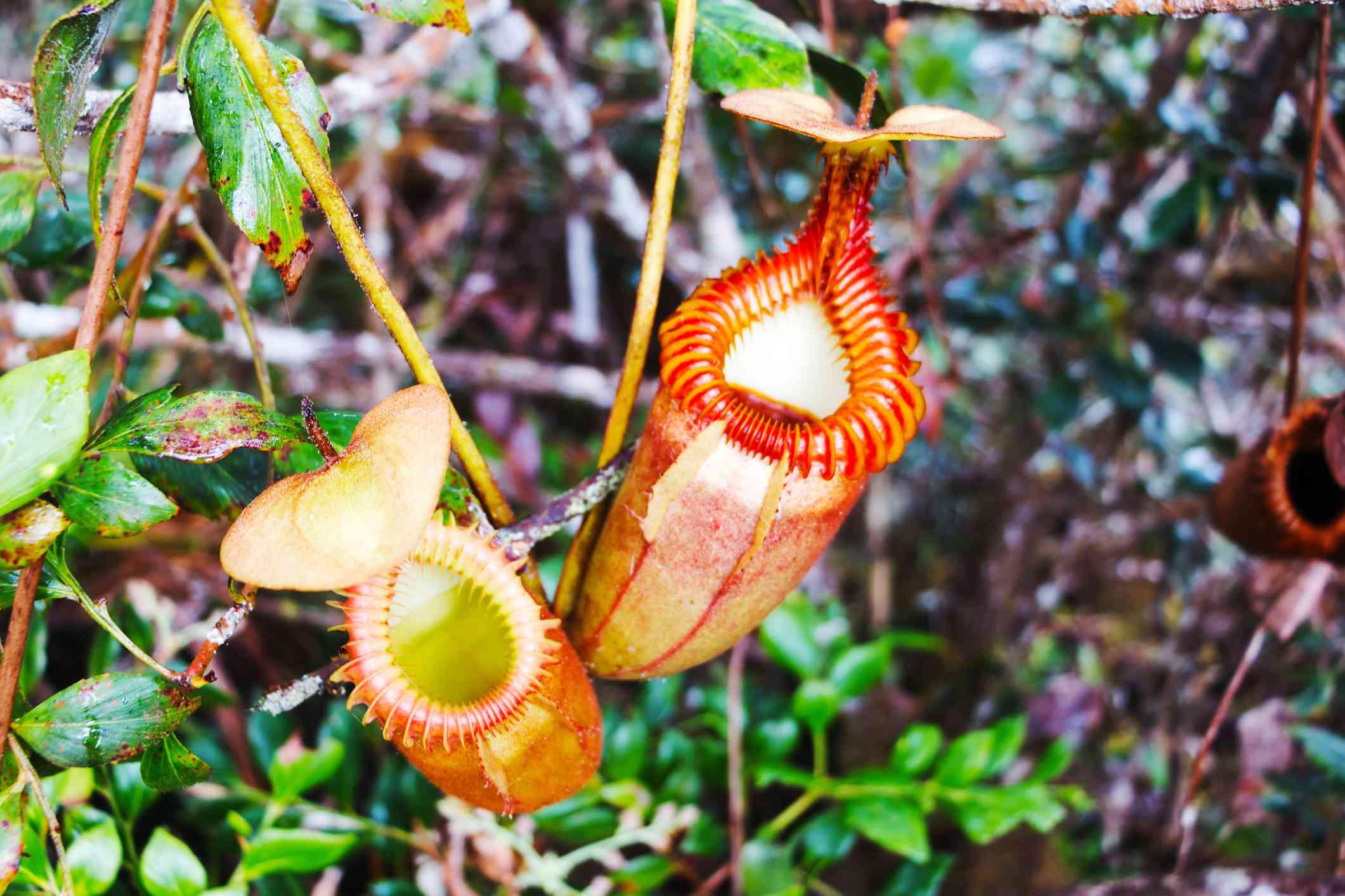 Nepenthes villosa pitcher closeup.