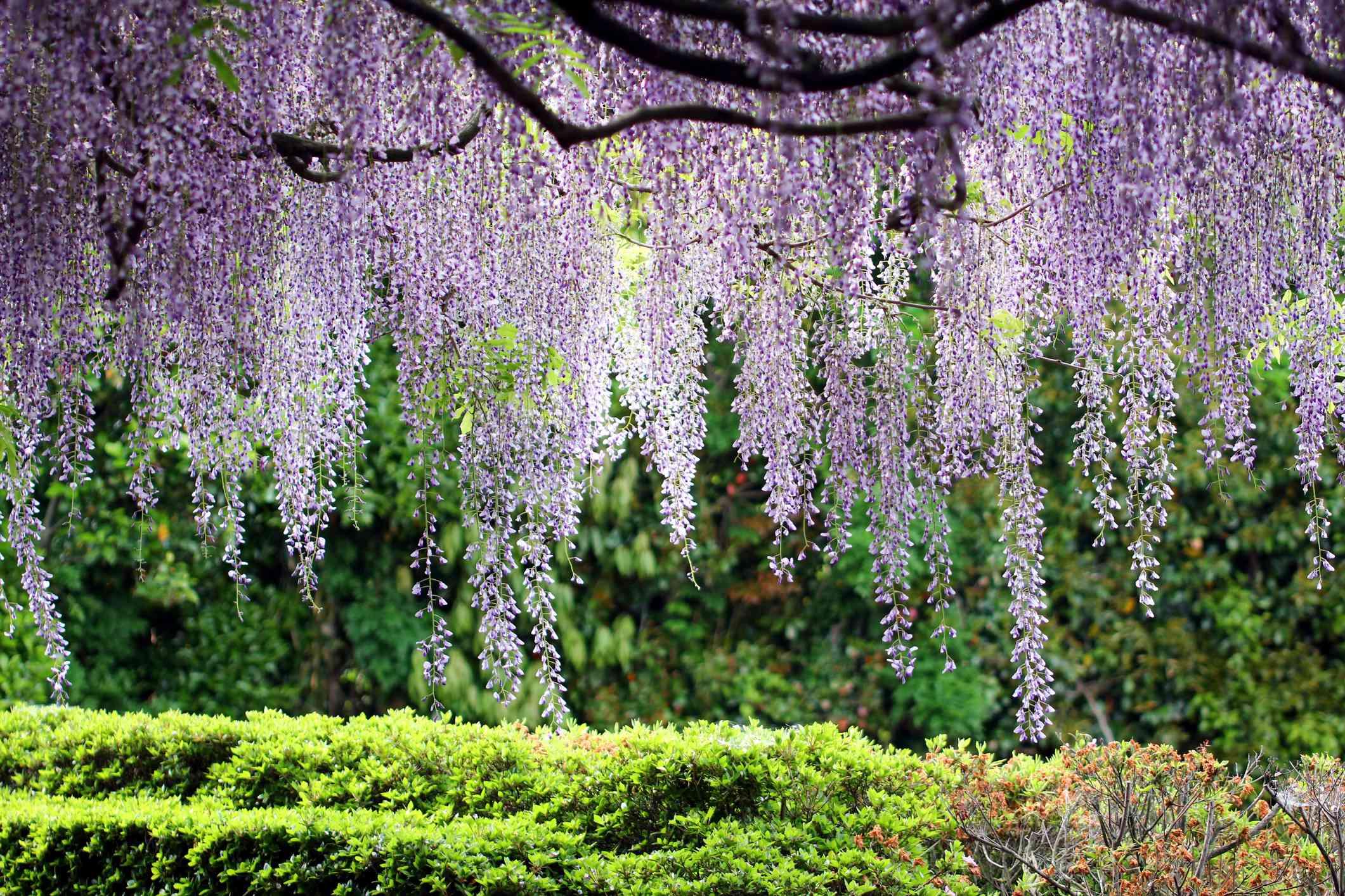 Japanese wisteria flower curtain
