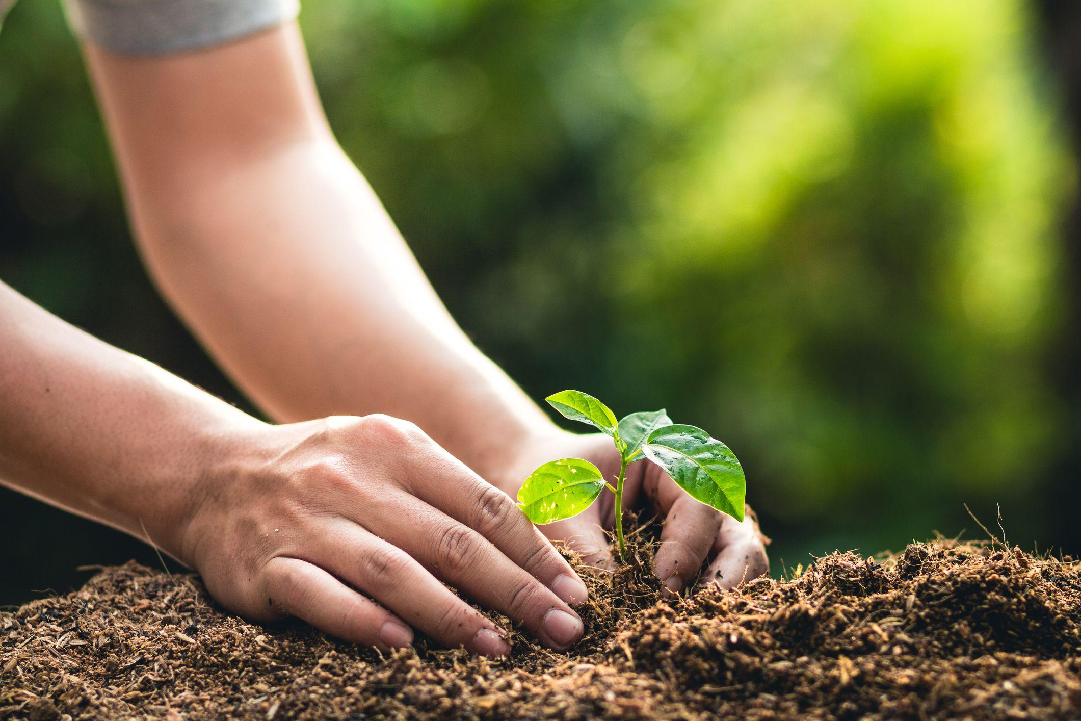 planting bareroot tree seedlings