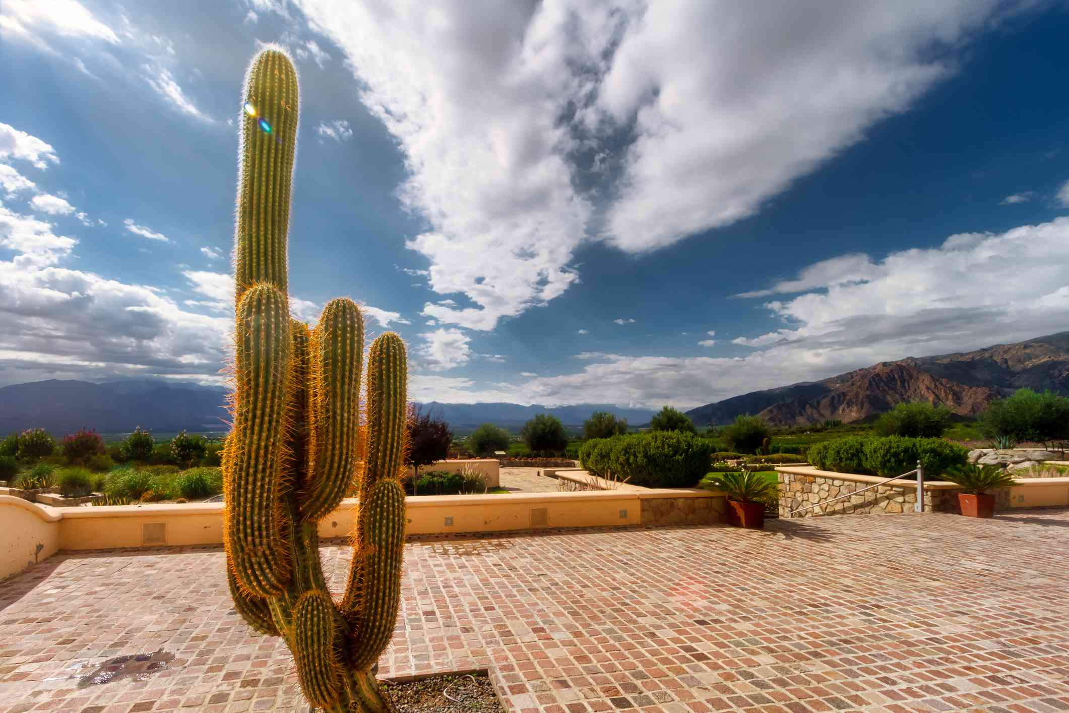 Mexican Giant Cactus Cardon