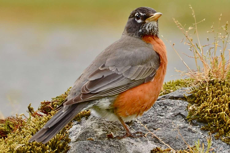 American Robin, state bird of Michigan, standing on the ground.